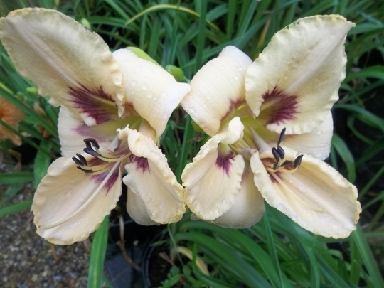 "The ""stitchery""  label daylily"