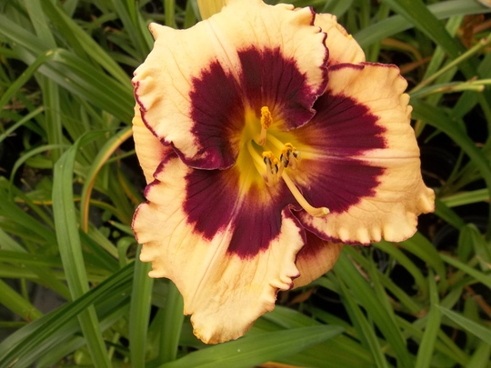 Cream and purple daylily