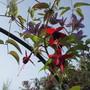 Clematis & Fuchsia (Clematis)