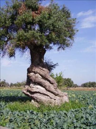 olive tree 030