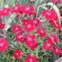 Dianthus superbus Red (Dianthus superbus (Crimsonia Pink))