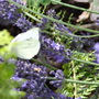 Butterfly liking the Lavender flowers.