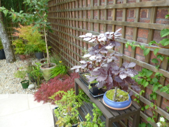 Bonsai Copper Beech with others