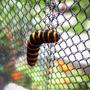 Black & Yellow Caterpillar