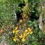 Bulbine fruticosa flower (for Siris)