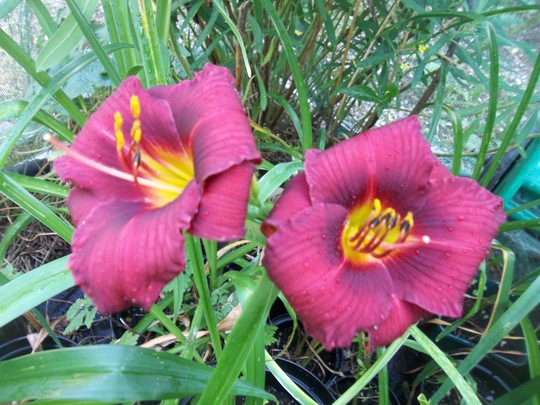 Red daylily (small flower)