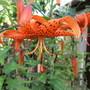 Lilium lancifolium (Lilium lancifolium)