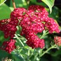 Achillea 'Pomegranate'