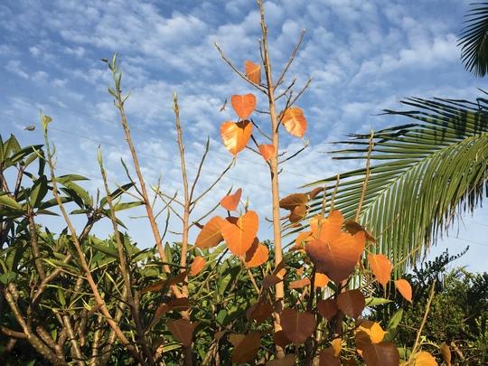 Ficus religiosa - Bo Fig or Sacred Fig (Ficus religiosa - Bo Fig or Sacred Fig)