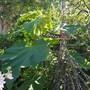 Paulownia..... (Paulownia tomentosa (Foxglove tree))