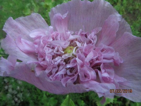 8749 Self sown Mauve Poppy
