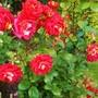 Rose Cleopatra.