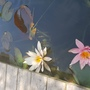 Water lilies  (Nymphaea odorata (Water lily))
