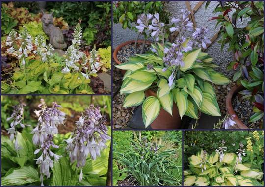Some Of My Hostas In Flower
