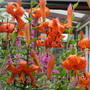 A Riot of Colour (Lythrum salicaria (Loosestrife))
