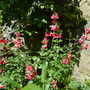 Salvia jamensis Hot Lips (Salvia jamensis Hot Lips)