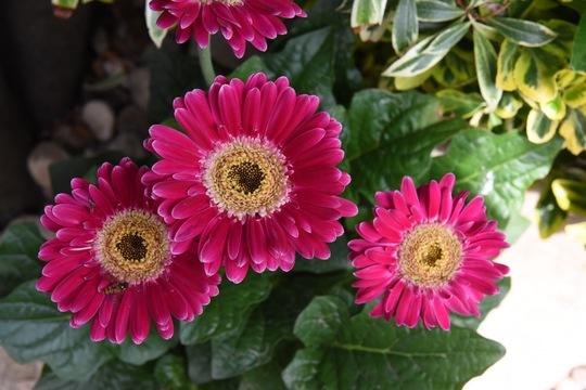 Gerbera (Gerbera Asteraceae)