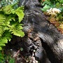 Old timber overtaken by fern and sedum (Sedum album (Aizoum))