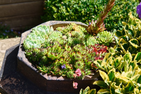 Old Victorian chimney pot filled with succulents. (Sempervivum tectorum (Common Houseleek))