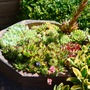 Old Victorian chimney pot filled with succulents. (Sempervivum tectorum (Common Houseleek))