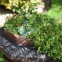 My other Victorian chimney pot filled with overflowing sedum and succulents (Sedum album (Aizoum))