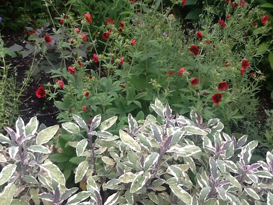 Potentilla thurberi, Monarch's Velvet. & Sage ( tricolour).