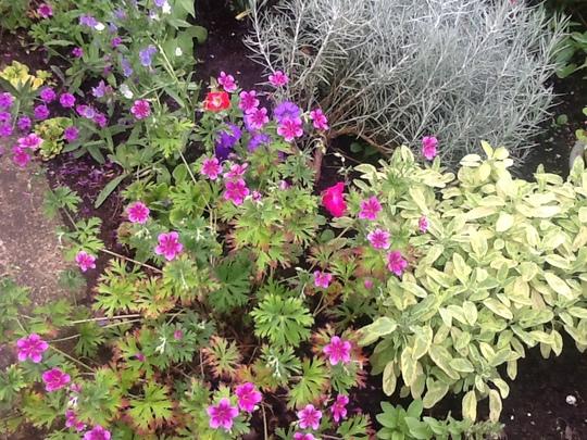 Golden Sage & Geranium