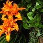 Hemerocallis fulva......orange Daylily.