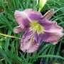 Lilac/lavender 26/7/19