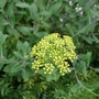 Bupleurum fruticosum (close-up) - 2019 (Bupleurum fruticosum)