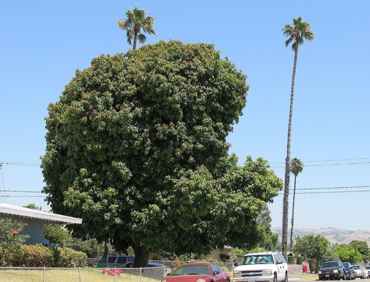 Enormous Avocado tree. (Persea americana (Avocado))