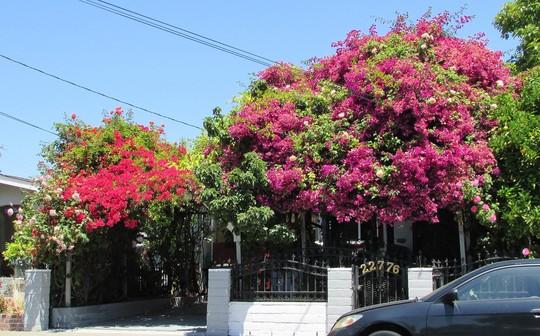 Bougainvillea home. (Bougainvillea spectabilis)