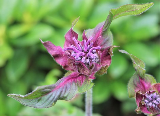Monarda 'Westacre Purple' for my records