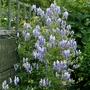 Aconitum x cammarum 'Bicolor' - 2019 (Aconitum x cammarum)