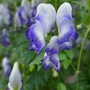 Aconitum_x_cammarum_bicolor_close_up_2019
