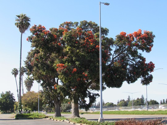 Not a good pic of a great tree. (Corymbia ficifolia.)
