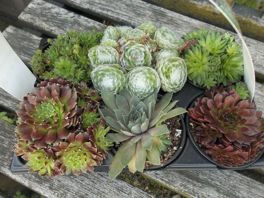 Sempervivums from L..l  £4.99