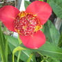 Another Tigridia  (Tigridia pavonia (Tiger flower))