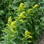 Solidago 'Golden Baby' - 2019 (Solidago 'Golden Baby')