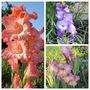Pastel coloured Gladiolus (For my File) (Gladiolus)