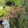 Limonium latifolius (For my File) (Limonium latifolium)