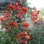 Lilium lancifolium (For My File) (Lilium lancifolium)