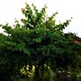 Cercis tree.....developing a good shape.