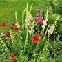 Gladioli amongst 'Blanket flower' perennial.