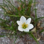 Zephyranthes candida - 2019 (Zephyranthes candida)