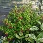 Fuchsia 'Genii' - 2019 (Fuchsia)