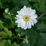 Anemone x hybrida 'Whirlwind' - 2019 (Anemone x hybrida)