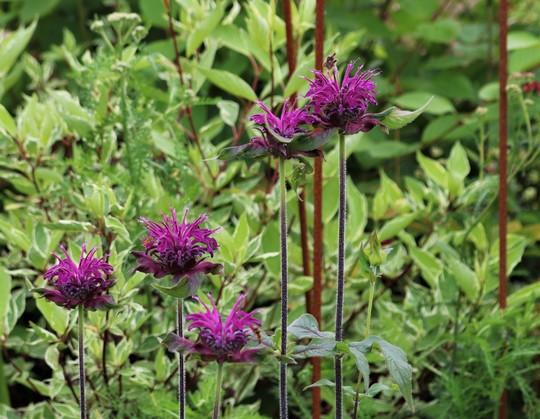 Monarda didyma 'Westacre Purple'