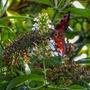 Butterfly on Buddliea