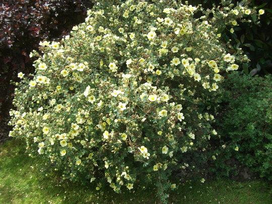 Potentilla Fruiticosa Maanleys (potenilla Fruiticosa)
